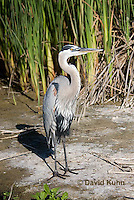 0829-0905  Great Blue Heron, Ardea herodias © David Kuhn/Dwight Kuhn Photography