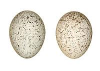 Pied Wagtail - Motacilla alba yarrellii