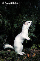 MA28-142z  Short-Tailed Weasel - ermine exploring forest for prey in winter - Mustela erminea