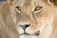Lion, Serengeti National Park, Tanzania, East Africa