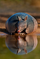 605500035 a wild nine-banded armadillo dasypus novemcinctus drinks water with its tongue out on beto gutierrez santa clara ranch hidalgo county lower rio grande valley texas united states