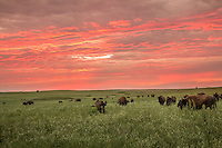 Buffalo at the Tallgrass Prairie Preserver near Pawhuska Oklahoma.  This is the largest protected remnant of tallgrass prairie left on earth and sustains a herd of 2500 free-roaming bison.