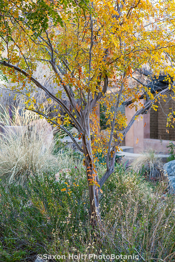 Haematoxylon brasiletto (Rosary Wood Tree, Mexican Logwood), small drought tolerant tree in patio courtyard at Living Desert, Palm Springs, California.
