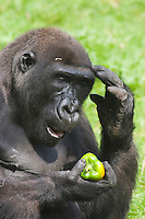 Germany, DEU, Muenster, 2006-Sep-06: A gorilla (gorilla gorilla) meditatively holding a green pepper in its hand in the Muenster zoo.