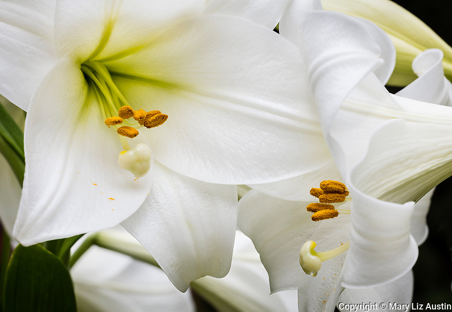 Vashon-Maury Island, WA: Close-up of white trumpet lily, Lilium longiflorum 'White Heaven'