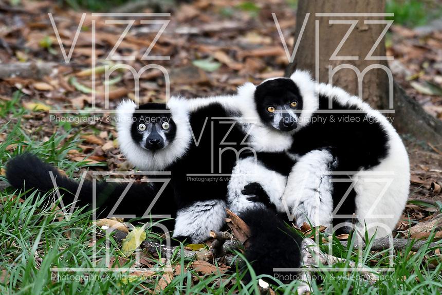CALI - COLOMBIA - 27 - 09 - 2017: Lemur de Collar (Varecia Variegata) especie de Primate Estrepsirrino, en el Zoologico de Cali, en el Departamento del Valle del Cauca.  / Lemur de Collar (Varecia Variegata) species of Primate Estrepsirrino, in the Zoologist of Cali, in the Department of Valle del Cauca. / Photo: VizzorImage / Luis Ramirez / Staff.