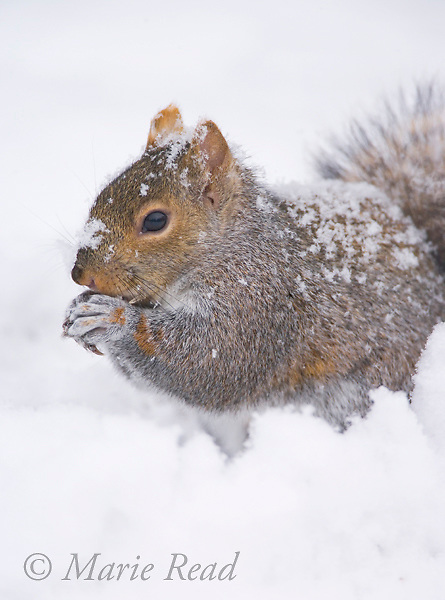 Gray Squirrel (Sciurus carolinensis) feeding in deep snow, New York, USA.