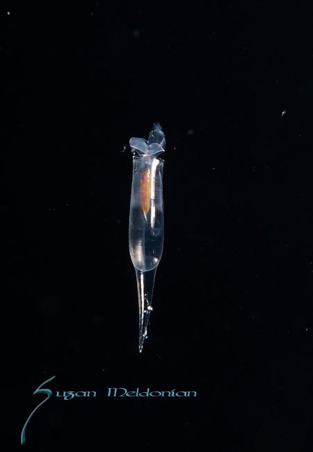 Cavolinia inflexa, Pteropod, Thecosome pteropod,Larval, plankton, Gulfstream Current