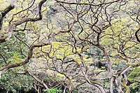 Dense overhead branches. Waimea Valley, Oahu, Hawaii