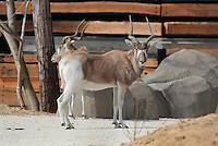 Addax (Addax nasomaculatus), a critically endangered species of antelope from the Sahara desert, in the Zone Sahel-Soudan of the new Parc Zoologique de Paris or Zoo de Vincennes, (Zoological Gardens of Paris or Vincennes Zoo), which reopened April 2014, part of the Musee National d'Histoire Naturelle (National Museum of Natural History), 12th arrondissement, Paris, France. Picture by Manuel Cohen