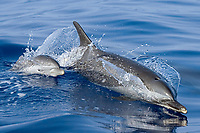 Pantropical spotted dolphin, Mom and baby, Stenella attenuata, riding boat wake, Kona Coast, Big Island, Hawaii, USA, Pacific Ocean
