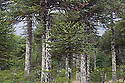 Araucaria (Monkey puzzle tree) forest at the border to Chile; Argentina, Lake District, Lanin National Park