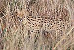 Serval, Masai Mara National Reserve, Kenya