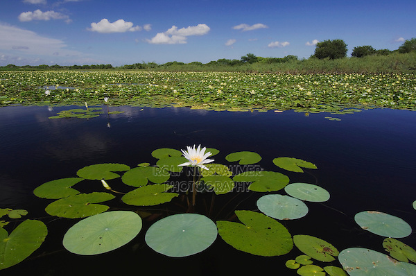 Lake with Tropical Royalblue Waterlily (Nymphaea elegans) and Yellow Waterlily (Nymphaea mexicana), Sinton, Coastel Bend, Texas, USA