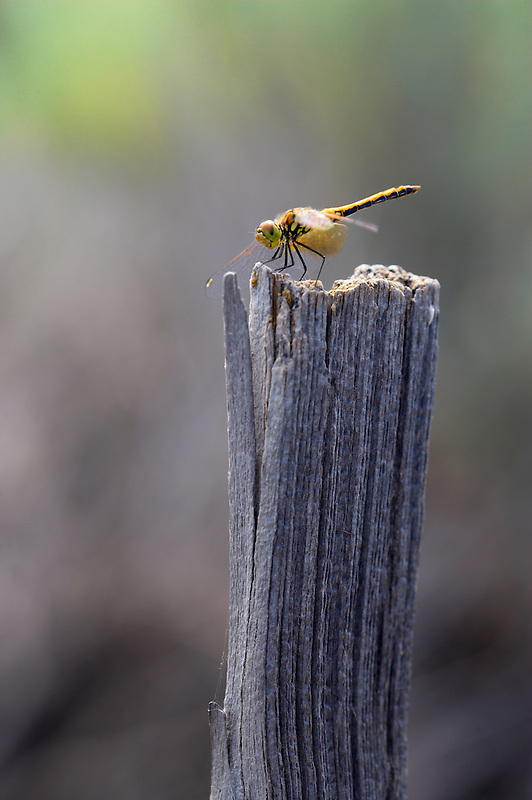 Dragonfly on fence post. Oregon
