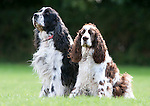 Pair of English Springer Spaniels, sitting together,IK