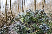 Große Brennnessel, junge, frische Blätter im zeitigen Frühjahr zwischen den abgestorbenen Stängeln des Vorjahres, Brennessel, Urtica dioica, Stinging Nettle
