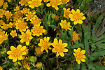 California Goldfields (Lasthenia californica), Sonoma County, California, USA