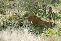 Afrikaanse leeuw (Panthera leo)