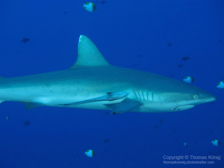 Blue Corner, Palau -- Gray reef shark on the prowl.