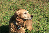 a wet golden retreiver standing in  field,  head shot