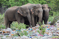 Human-Elephant Conflict in Sri Lanka