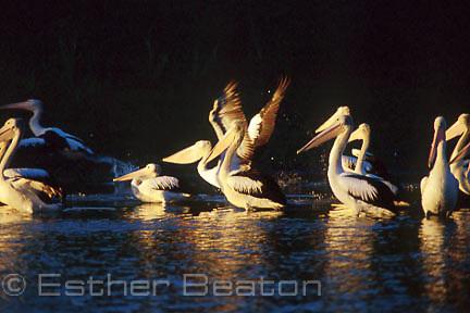 Australian Pelicans (Pelecanus conspicillatus) and Royal spponbills (Platalea regia) feeding at dawn, Brown's Lagoon Reserve, Albury, NSW