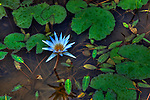 Sandrandahy, Madagascar. Rain drops on a blue water lily blossom and green leaves.