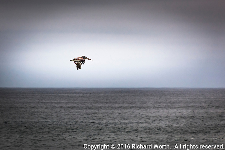 A lone Brown pelican in flight over the gray Pacific waters off California's coast. 1 of 3.