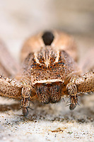 Laufspinne, Thanatus formicinus, Philodromidae, Laufspinnen, philodromid crab spiders, running crab spiders, philodromid crab spider, running crab spider
