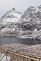 Snow covered cod stockfish hanging on wooden drying racks near the town of Å, Lofoten islands, Norway