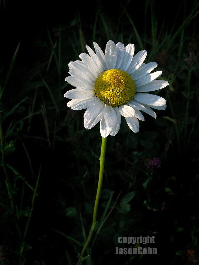 Daisy in Glacier Park, Montana. Photo by Jason Cohn
