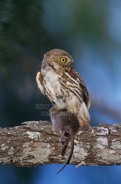 Ferruginous Pygmy-Owl, Glaucidium brasilianum, adult with mouse prey, Willacy County, Rio Grande Valley, Texas, USA, June 2004