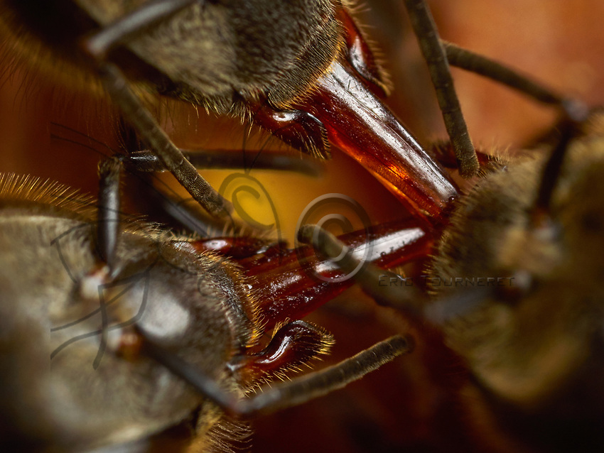 Antenna contact is mainly used during the exchange of food. A foraging bee that has gathered nectar keeps it in its crop. Arriving in the hive, the bee regurgitates it and transfers it to another bee who will store it. This exchange is the trophallaxis. The hymenoptera that will receive the nectar places its antennas between the mandibles of the foraging bee to ask for it and extends its tongue. The foraging bee responds to the demand with specific antenna movements and regurgitates the nectar. Other antenna movements signal the end of the exchange.<br /> Les contacts antennaires sont principalement utilis&eacute;s lors des &eacute;changes de nourriture. Une butineuse ayant collect&eacute; du nectar le conserve dans son jabot. Arriv&eacute;e &agrave; la ruche, elle le r&eacute;gurgite et le transmet &agrave; une autre abeille qui ira le stocker. Cet &eacute;change est la trophallaxie. L&rsquo;hym&eacute;nopt&egrave;re qui recueille le nectar place ses antennes entre les mandibules de la butineuse pour la solliciter et &eacute;tend sa langue. La butineuse r&eacute;pond &agrave; la demande par des mouvements d&rsquo;antennes sp&eacute;cifiques et r&eacute;gurgite le nectar. D&rsquo;autres mouvements d&rsquo;antennes indiquent la fin de l&rsquo;&eacute;change.