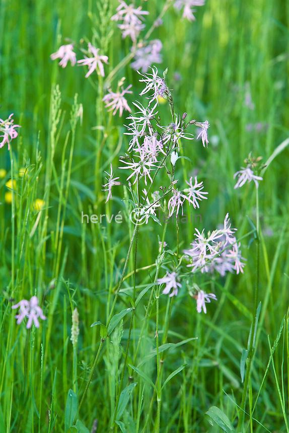 Loire-Atlantique (44)/proche lac de Granlieu : coucou = silène fleur de coucou (Silene flos-cuculi) // Lychnis flos-cuculi (Ragged Robin)