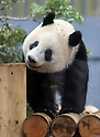 Giant panda Xiang Xiang at Ueno Zoological Garden