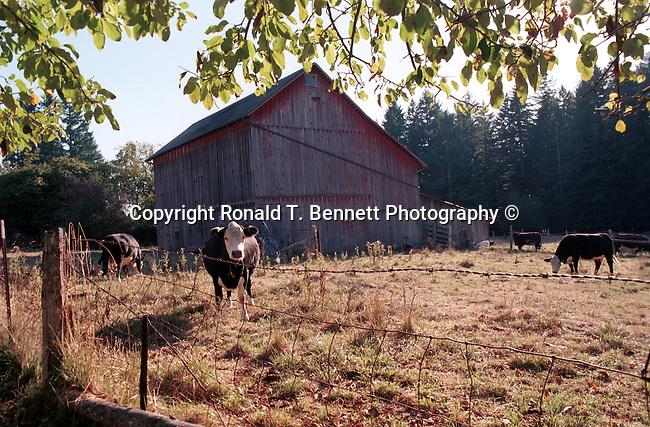 Barn yard with Hereford cattle Oregon, Oregon, Pacific Ocean, Plains, woods, mountains, rain forest, desert, rain, , Pacific Northwest, Fine Art Photography by Ron Bennett, Fine Art, Fine Art photography, Art Photography, Copyright RonBennettPhotography.com ©