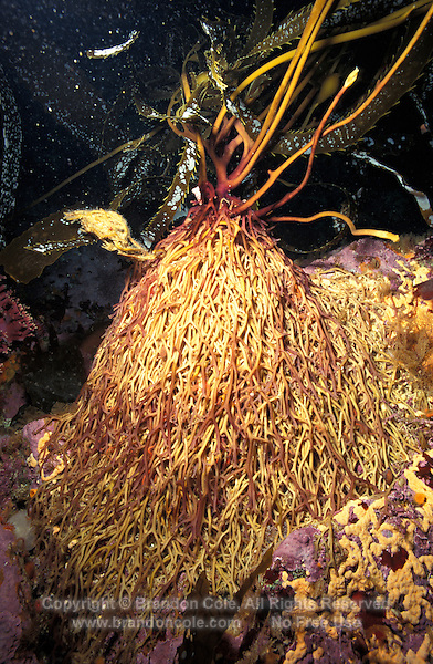 ld4073. Giant Kelp (Macrocystis pyrifera). Close up of haptera, the root-like anchors of the kelp plant. This holdfast absorbs water and nutrients directly from the water. California, USA, Pacific Ocean..Photo Copyright © Brandon Cole. All rights reserved worldwide.  www.brandoncole.com..This photo is NOT free. It is NOT in the public domain. This photo is a Copyrighted Work, registered with the US Copyright Office. .Rights to reproduction of photograph granted only upon payment in full of agreed upon licensing fee. Any use of this photo prior to such payment is an infringement of copyright and punishable by fines up to  $150,000 USD...Brandon Cole.MARINE PHOTOGRAPHY.http://www.brandoncole.com.email: brandoncole@msn.com.4917 N. Boeing Rd..Spokane Valley, WA  99206  USA.tel: 509-535-3489