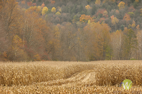 Late fall landscape with cornfield and harvester path.
