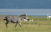 Grant's Zebra, Equus quagga boehmi, walks past a group of egrets and a Greater Flamingo, Phoenicopterus ruber, on the shore of Lake Nakuru in Lake Nakuru National Park, Kenya