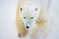 Polar bear (Ursus maritimus) walking in snowstorm.