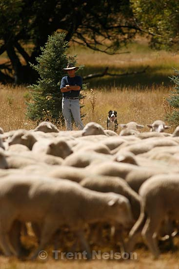Midway - Charlie Torre and his sheepdog Rocky stand watch over a group of sheep. Preparations were underway Thursday for the Soldier Hollow Classic Sheepdog Championship, where sixty-four sheepdogs from around the world will compete guiding 300 head of wild Utah sheep at the Soldier Hollow Olympic Venue.