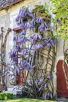 France, Indre-et-Loire (37), Chenonceaux, château et jardins de Chenonceau, la cour de ferme et glycine