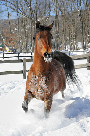 Horse running in deep powder snow and sunlight in a fenced field, exuberant bay Arabian gelding in winter.