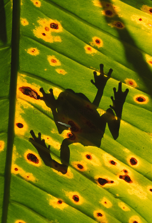 Tree frog on a heliconia leaf