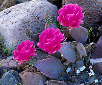 Death Valley Park, CA<br /> Three blossoms on a beavertail cactus (Opuntia basilaris)