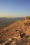 Israel, Negev, Ibex in Mitzpe Ramon overlooking Ramon crater