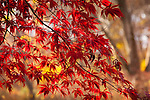 Japanese maples in the Arnold Arboretum, Boston, MA, USA