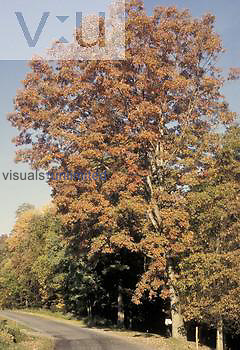 White Oak in the fall ,Quercus alba,, North America.