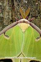 04000-002.12 Luna Moth (Actias luna) Marion Co. IL